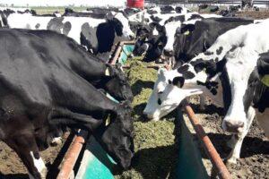 La alimentación está basada en obtener una elevada producción de leche