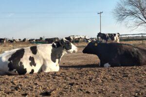 Confinamiento a cielo abierto de las vacas Holando